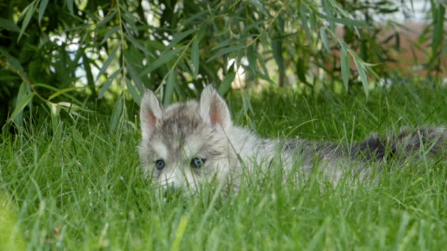 Husky puppy with a blue eyes lies on a grass video