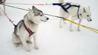 Husky sled dogs at start video
