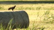 Huting eagle video
