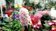hyacinth in the greenhouse video