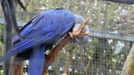 Hyacinth Macaw Perched on Tree Branch video