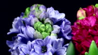 Hyacinthus orientalis blooming HD video