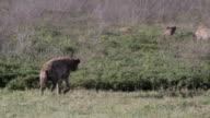 hyaena walking pan video