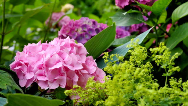 Hydrangea common names hydrangea or hortensia (Hydrangea macrophylla). video