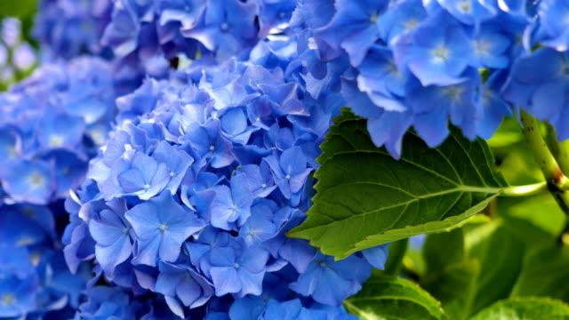 Hydrangea flora background. video
