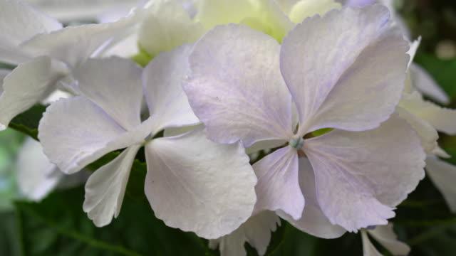 Hydrangea flower video