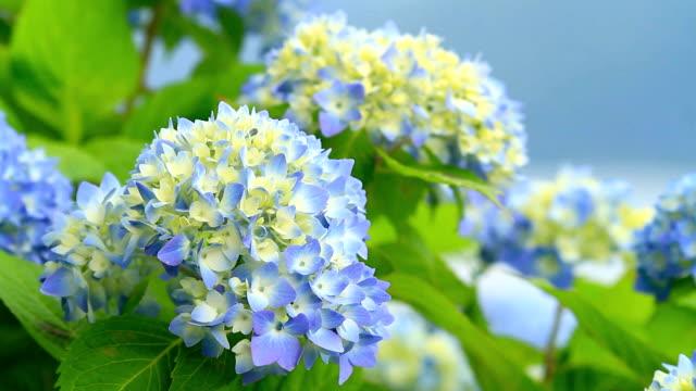 Hydrangea flowers. video