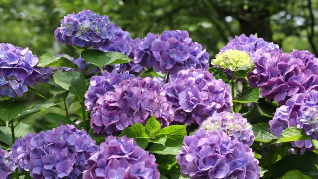 Hydrangea flowers video