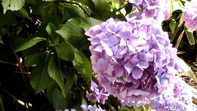 Hydrangea in Japan video