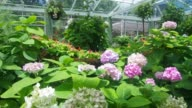 hydrangea in the greenhouse video