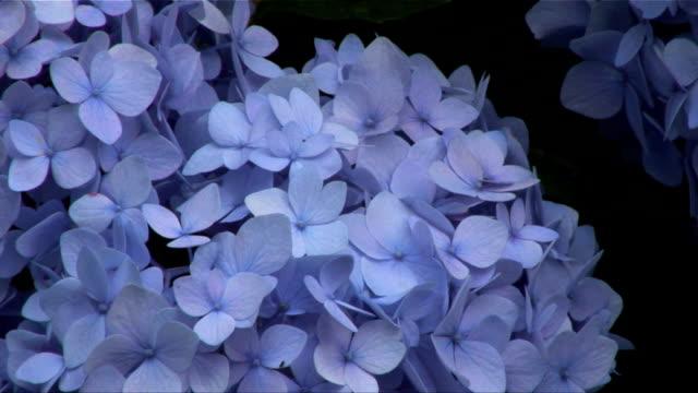 Hydrangea video