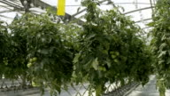 Hydroponic cultivation video