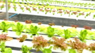 hydroponic lettuce vegetable growing in agriculture farm video
