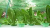 Hydroponic Lettuce vegetable_4K video