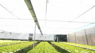 Hydroponic vegetable farm. video