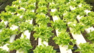 Hydroponic vegetable farm.HD video
