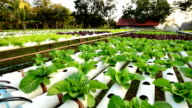 Hydroponic vegetable, Panning shot video