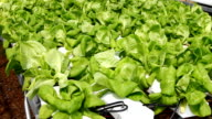 Hydroponic vegetable video