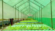 Hydroponic vegetable. video