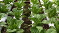 Hydroponic vegetables growing in greenhouse video