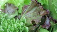 Hydroponic vegetables video