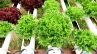 Hydroponics vegetable video