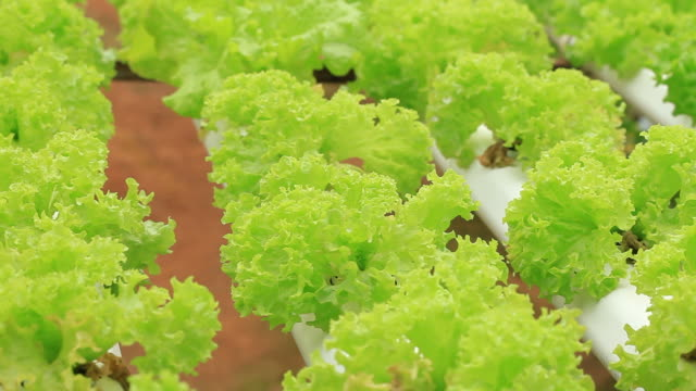 Hydroponics vegetable. video