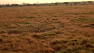 CLOSE UP: Hyena lying on savannah short grass field in safari park and howling video
