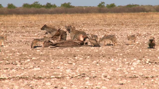Hyenas, Vultures, Jackals taking a snack video