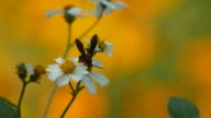 hymenopteran collecting nectar from flower video