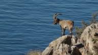Iberian ibex and sea video
