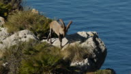 Iberian ibex for its domains video