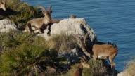 Iberian ibex group video