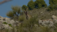 Iberian male ibex on mountainside video