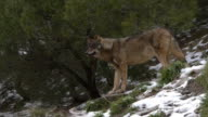 Iberian wolf in the forest video
