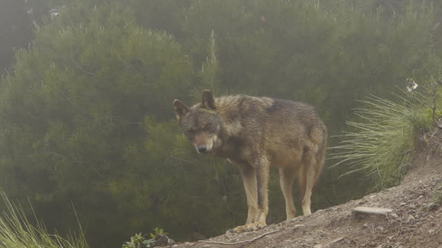 Iberian wolf in the mountainside video