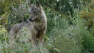 Iberian wolf watching and gasping video