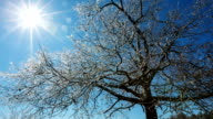 Ice Covered Tree with Sun video