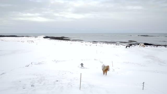 Iceland scenic landscape nature winter snow poney horse cold tourism video