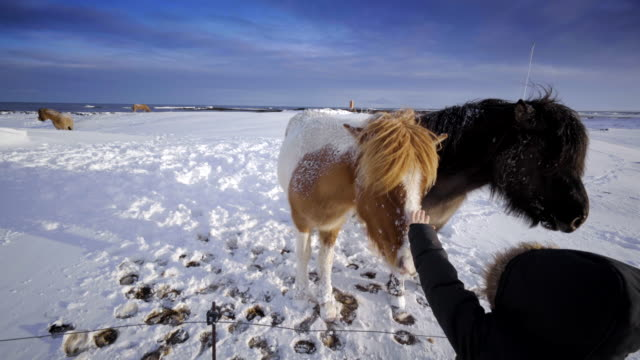 Iceland scenic landscape nature winter snow poney horse kid pet video