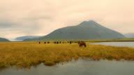 Icelandic horses on the pasture video