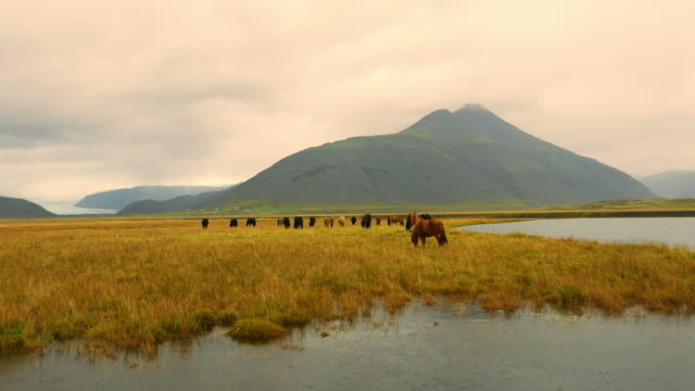 Icelandic horses on the pasture video