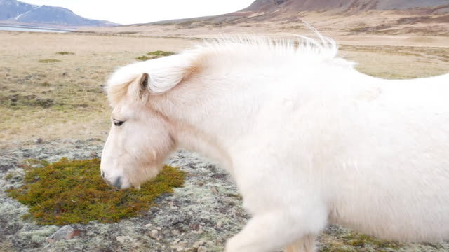 Icelandic wild horses with winter coats in late November in Northern Iceland video