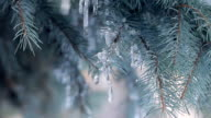 Icicles on Blue Spruce video