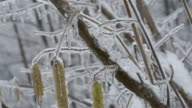 Icy hazel branch with catkins video