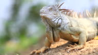 Iguana Close Up video