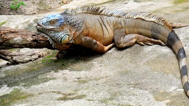 Iguana Closeup in the wild video