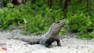 Iguana Closeup in Tropical Setting video