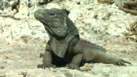 Iguana in the wild video