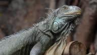 Iguana pet video